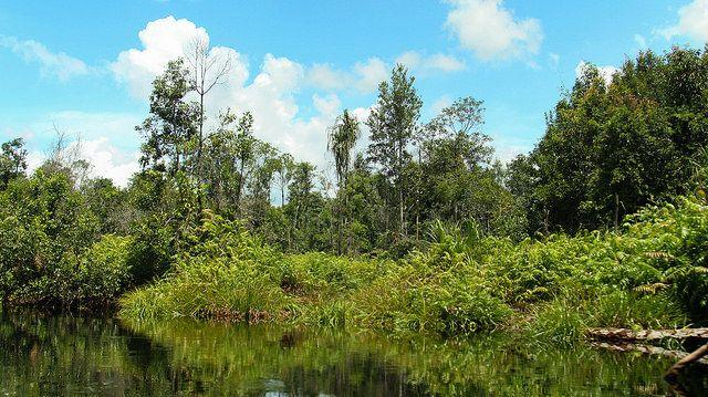 Peat swamp forests of the Katingan Peatland Reserve in Central Kalimantan, Indonesia. Photo by James Anderson/WRI