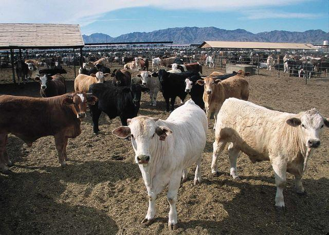 Beef production has an outsized climate impact compared to other foods. Photo by SDA Natural Resources Conservation Service/Wikimedia Commons