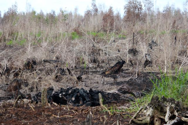 Peat Forest in Sebangau National Park, Central Kalimantan, which was burnt to the ground at the end of 2015. Poor management along with damaged or dried peat pose threats, i.e. fire and flood. Photo: Sapariah Saturi/ Mongabay Indonesia