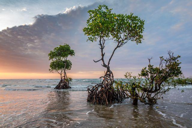 Mangroves protect coastlines from storms, waves and erosion. Photo by patjosse/Pixabay
