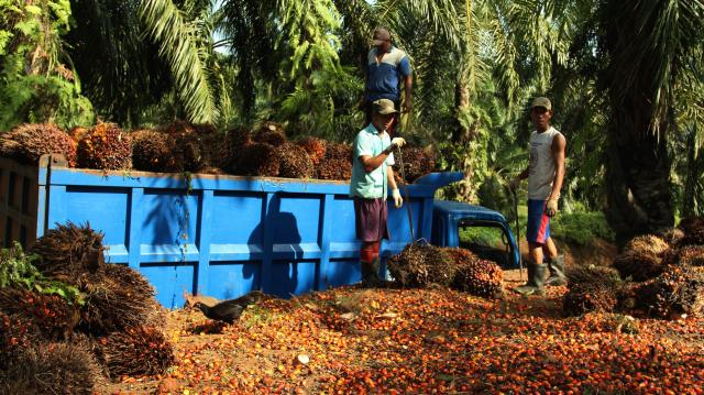 Oil palm fruit is loaded into a truck at a plantation near Bengkulu, Sumatra. Photo: James Anderson/WRI