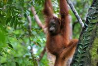 A young orangutan in central Kalimantan, Indonesia. Photo by Terry Sunderland/CIFOR