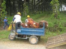Indonesia mengekspor $19.7 miliar minyak kelapa sawit mentah pada tahun 2011. Sumber Foto: Beth Gingold/WRI