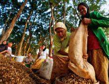 Wanita-wanita memanen kacang tanah di wilayah hutan jati. Sumber foto: Murdani Usman/CIFOR