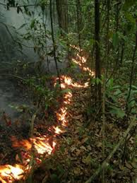 <p>Understory fire in the Brazilian Amazon. Sustained heat from these slow-moving fires can kill small trees and increase mortality rates in following years. Credit: Jos Barlow.</p>