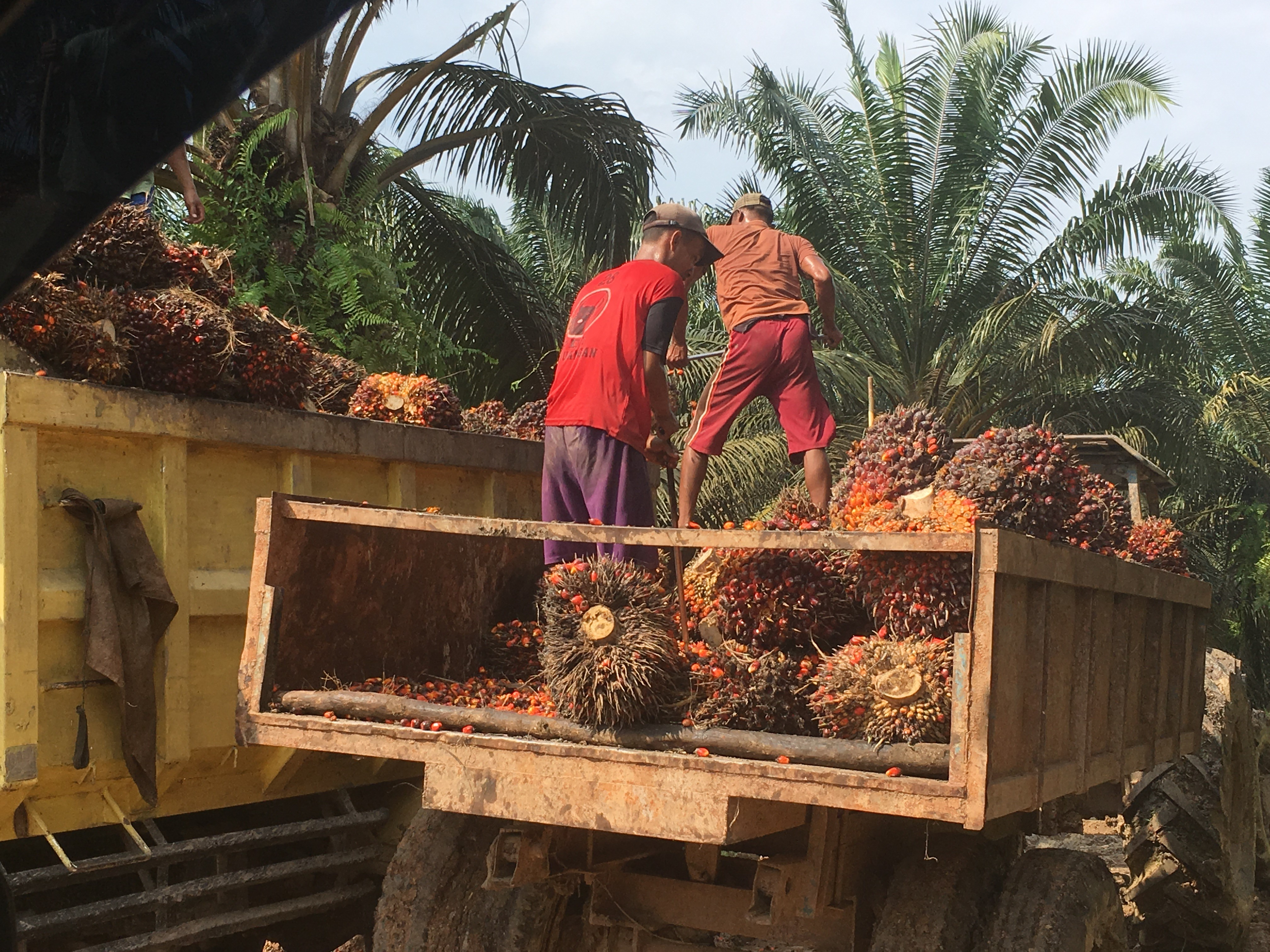 <p>Loading palm fruit for transport to a mill. Musi Banuasin sub-district, South Sumatra</p>